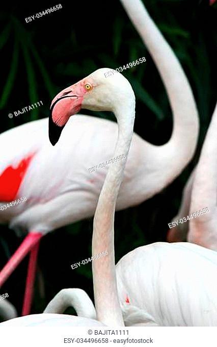 pink flamingos (Phoenicopterus ruber ruber)