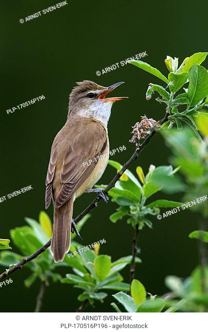 Great reed warbler (Acrocephalus arundinaceus) male perched in tree and calling in spring