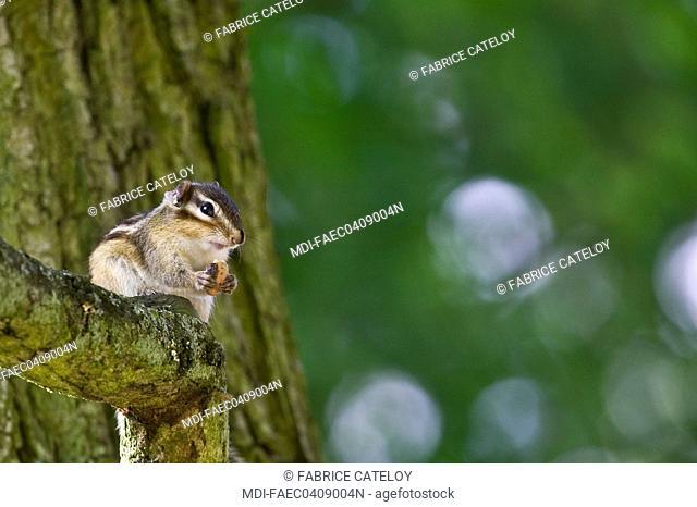 Feral Siberian chipmunk in Senart Forest - France