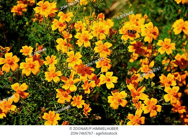 Tagetes tenuifolia, Schmalblättrige Studentenblume, Golden marigold