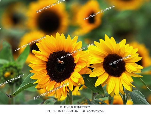 A sunflower blooms on a field near Friedrichmoor in the German state of Mecklenburg-Western Pomerania, Germany, 21 August 2017