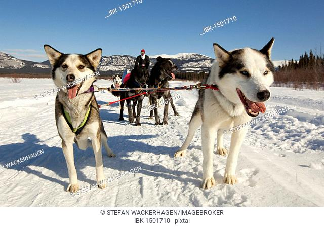 Man, musher on a dog sled, team of sled dogs, two lead dogs, leaders, Alaskan Huskies, frozen Yukon River, Yukon Territory, Canada