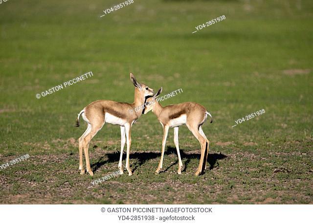 Springbok (Antidorcas marsupialis) - Lambs, Kgalagadi Transfrontier Park in rainy season, Kalhari Desert, South Africa/Botswana