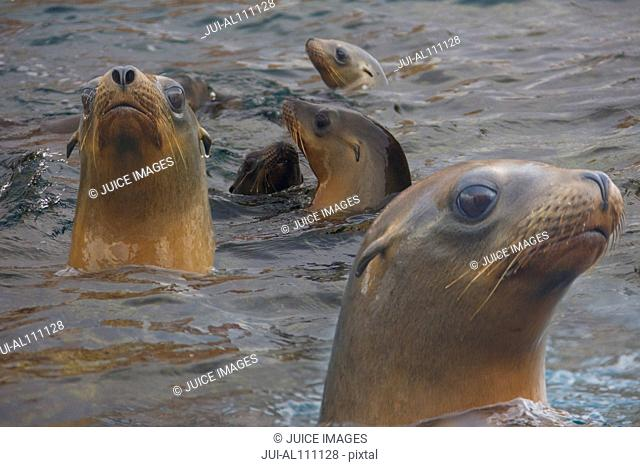 California sea lion, Zalophus californianus, Sea of Cortez, Los Islotes, Baja California Sur, Mexico