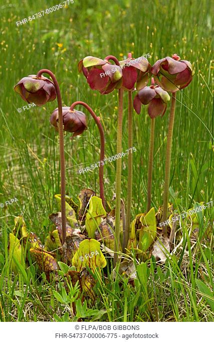 Purple Pitcher Plant (Sarracenia purpurea) flowering, growing in bog, Newfoundland, Canada, July