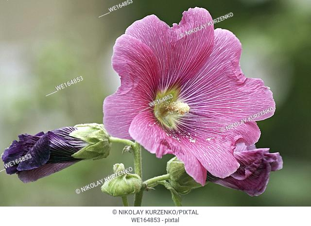 Common hollyhock (Alcea rosea)