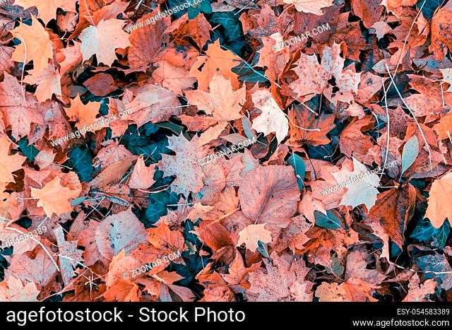 fallen leaves on the ground in the park in autumn for background or texture use. Natural fall concept, autumn pattern background