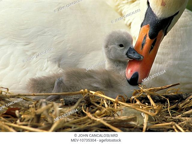 Mute Swan - with young (Cygnus olor)