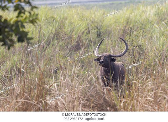 India, State of Assam, Kaziranga National Park, Water buffalo or Wild Asian water buffalo (Bubalus bubalis)