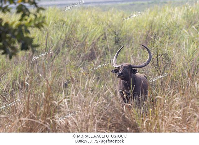 India, State of Assam, Kaziranga National Park, Water buffalo or Wild Asian water buffalo (Bubalus bubalis)