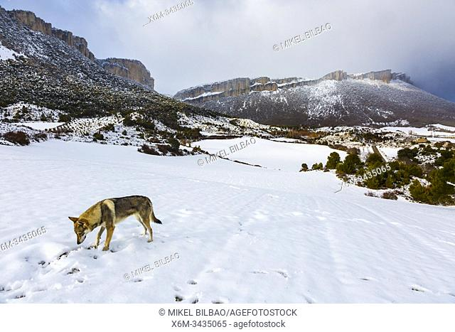 Wolfdog and Loquiz Mountain range in winter. Navarre, Spain, Europe