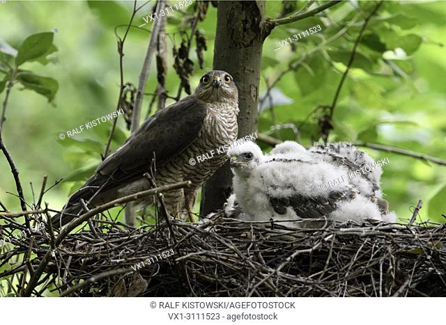 Sparrowhawk / Sperber ( Accipiter nisus ), adult female with its chicks on their eyrie, high up in a deciduous tree, watching attentively