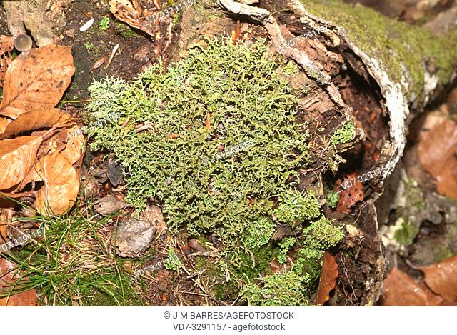 Cladonia furcata is a fruticulose lichen. This photo was taken in Montseny Biosphere Reserve, Barcelona province, Catalonia, Spain