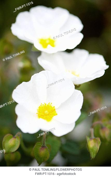Rock rose, Cistus corbariensis, three white coloured flowers