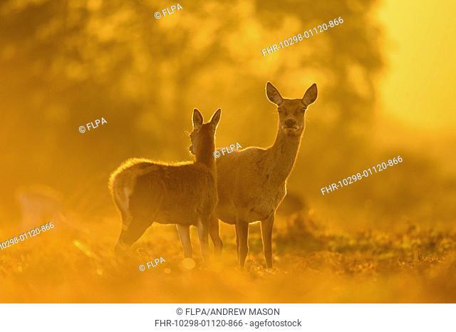 Red Deer (Cervus elaphus) hind and calf, standing alert, backlit at dusk, Bradgate Park, Leicestershire, England, October