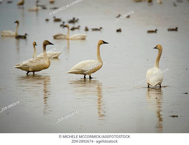 Tundra swans layover in Northern California during the winter migration