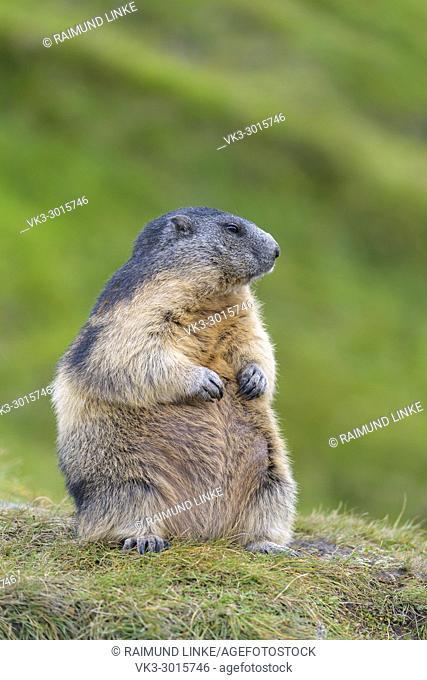 Alpine Marmot, Marmota marmota, sitting, Hohe Tauern National park, Austria