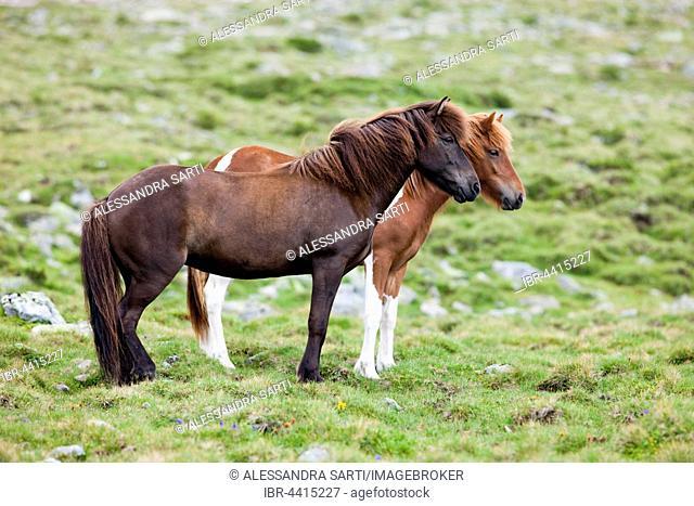 Icelandic chestnut and sorrel pinto horses in pasture, Kühtai Saddle pass, Tyrol, Austria