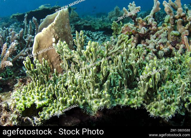 Prickly Branching Sponge (Pseudoceratina purpurea) with a symbiotic green algae, Beach House dive site, Atauro Island, East Timor