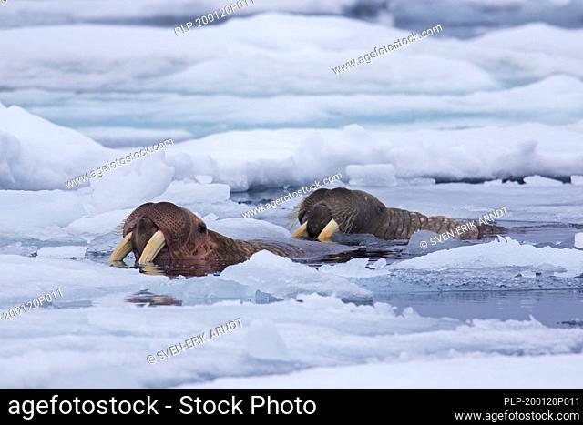 Two male walruses (Odobenus rosmarus) swimming among ice floe / drift ice in the Arctic Sea, Svalbard / Spitsbergen, Norway