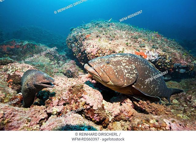 Mediterranean Moray an Dusky Grouper, Muraena helena, Epinephelus marginatus, Les Ferranelles, Medes Islands, Costa Brava, Mediterranean Sea, Spain