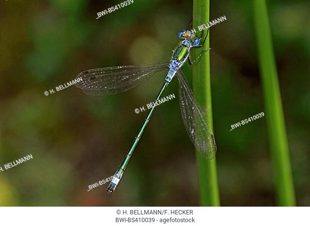 green lestes, emerald damselfly (Lestes sponsa), at a stem, view from above, Germany