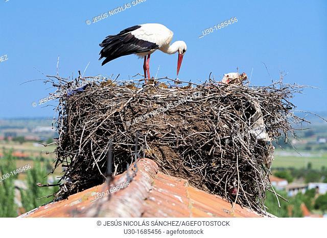 White stork Ciconia ciconia in their nest in Quintana de la Serena, Badajoz province  Extremadura  Spain