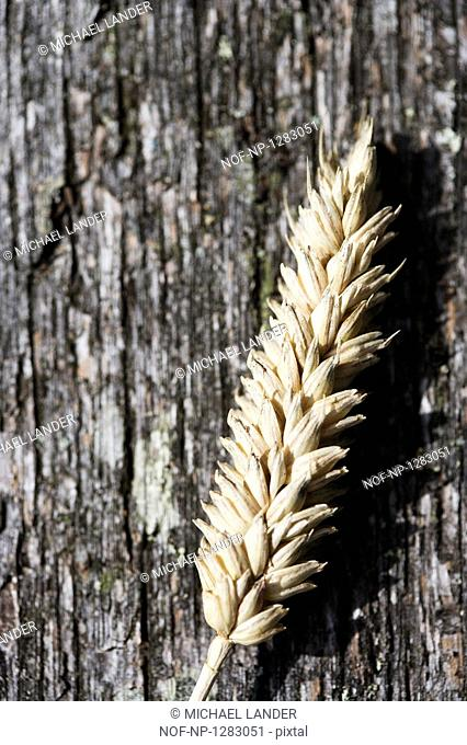 Close-up of a barley