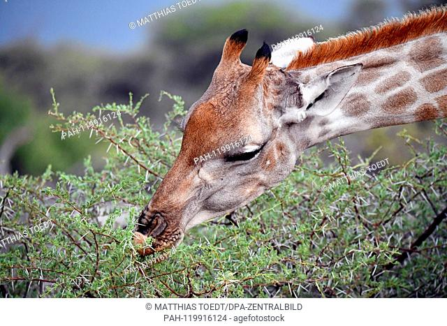 Giraffe looking at an acacia in the Etosha National Park, taken on 05.03.2019. The Giraffe (giraffa) belongs to the pairhorses and with a weight of up to 1600...