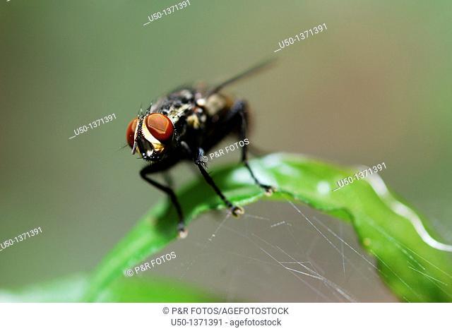 Flesh fly on leaf Diptera, Sarcophagidae, 2009