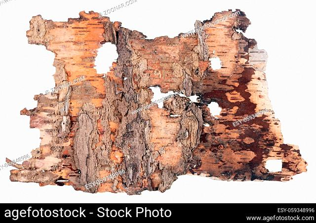 The back side of a fragment of birch tree rotten bark like as vintage banner with worms. Isolated on white macro studio set