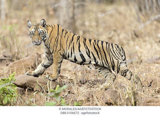 Asia, India, Maharashtra, Tadoba Andhari Tiger Reserve, Tadoba national park, Bengal tiger (Panthera tigris tigris), young