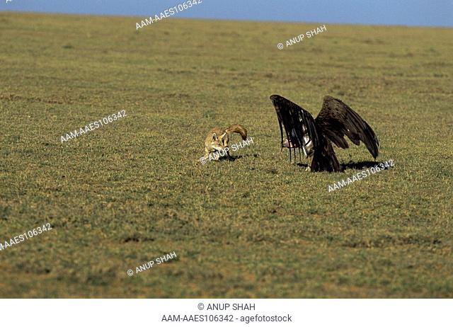 Golden jackal (Canis aureus) and Vulture in 'stand off', Ngorongoro conservation area, Tanzania