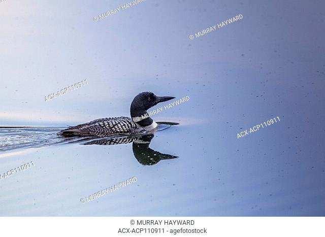 Common Loon (Gavia immer) Loon and its reflection, in lake, swimming. Wardner, British Columbia, Canada