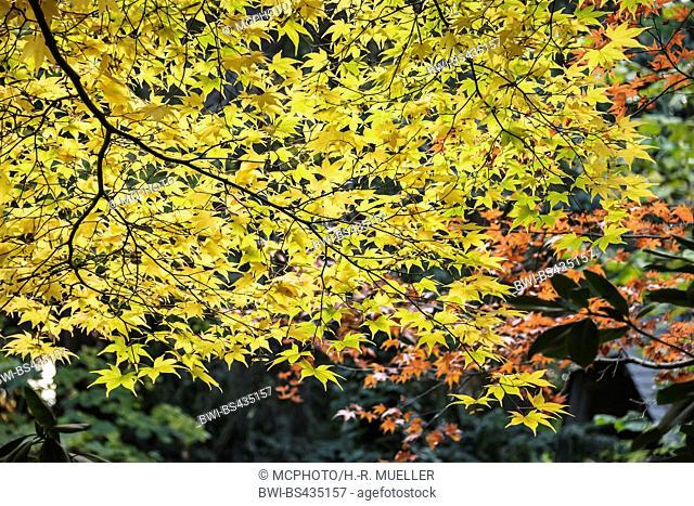 ACER 'SANGO KAKU' JAPANESE MAPLE, Stock Photo, Picture And