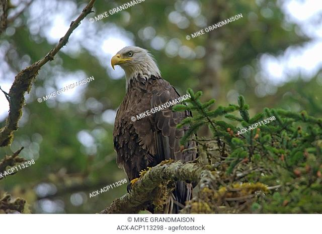 Bald eagle (Haliaeetus leucocephalus) in tree. Graham Island, Haida Gwaii (formerly the Queen Charlotte Islands), British Columbia, Canada