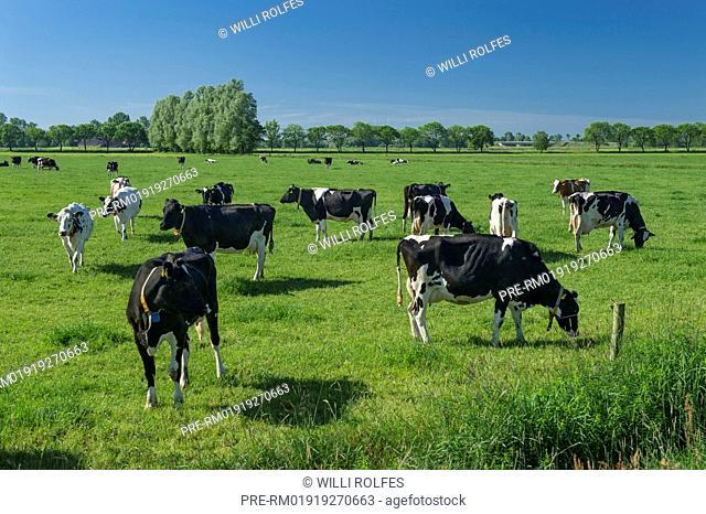 Black Pied cattles on green pasture, Landkreis Cloppenburg, Oldenburg Münsterland, Lower Saxony, Germany / Schwarz-Bunte Milchkühe auf grüner Weide