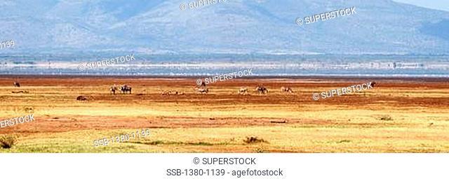 Herd of Zebras in a field, Lake Manyara National Park, Tanzania