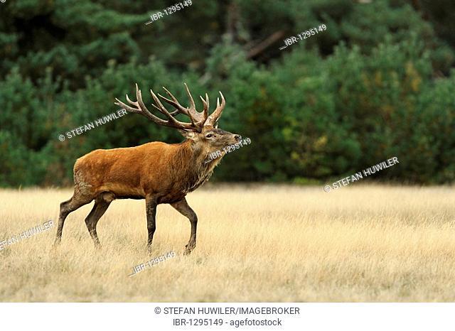 Red Deer (Cervus elaphus), stag standing in heathland
