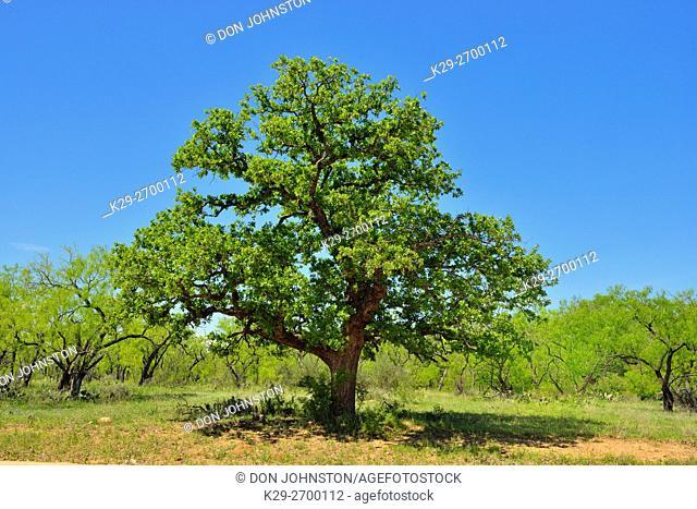 Oak tree and wildflowers along the Art Hedwigs Hill Road, Mason County, Texas, USA