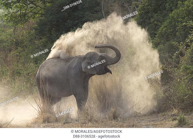 Asia, India, Uttarakhand, Jim Corbett National Park, Asian or Asiatic elephant (Elephas maximus), dust bath