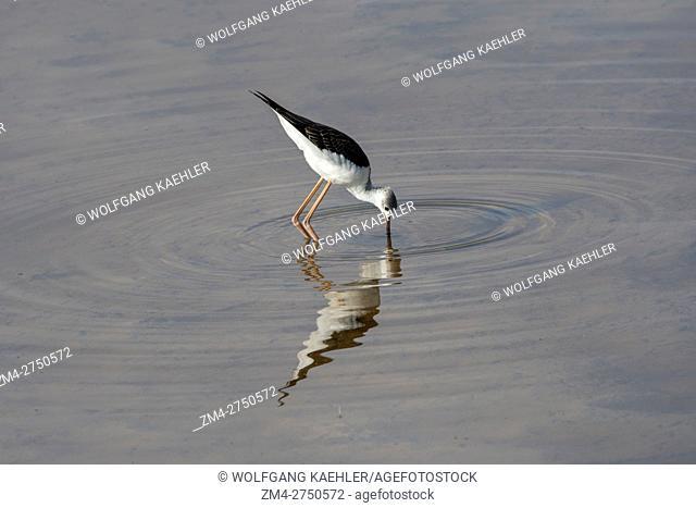 A black-winged stilt, common stilt, or pied stilt (Himantopus himantopus) is fishing for food in a swamp in Amboseli National Park, Kenya