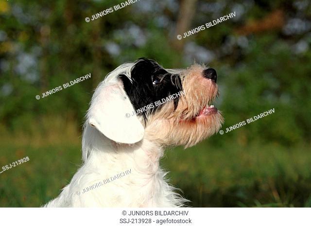 Sealyham Terrier. Portrait of a puppy. Germany