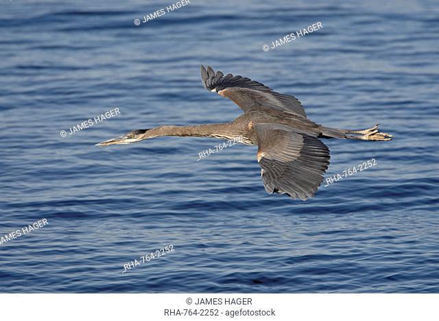Great blue heron Ardea herodias in flight, Sonny Bono Salton Sea National Wildlife Refuge, California, United States of America, North America