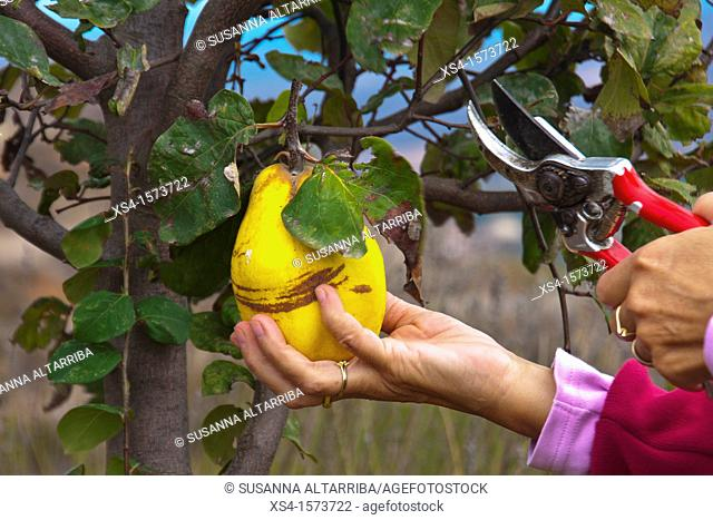 Women hands picking quinces. Cydonia oblonga. Photo tahe in Pinos, Lleida, Catalonia, Spain, Europe