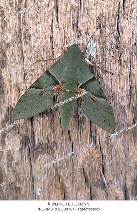 Sphinx Moth, Eumorpha labruscae