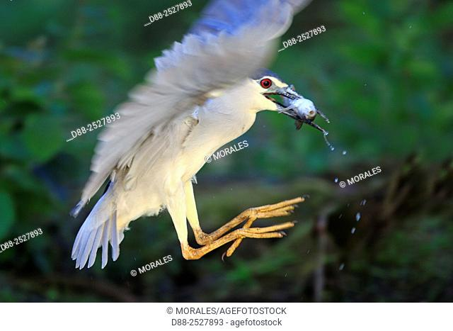 Europe, France, Ain, Dombes, Black Crowned Night Heron Nycticorax nycticorax, adult fishing