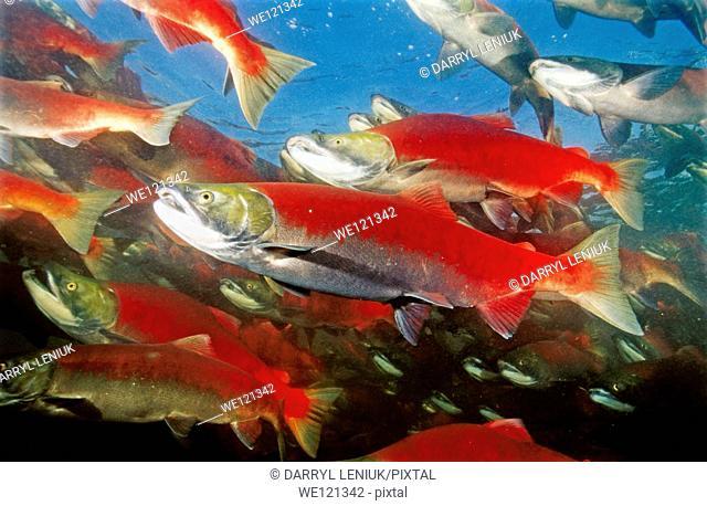 Spawning sockeye salmon  Shuswap lake  British Columbia  Canada