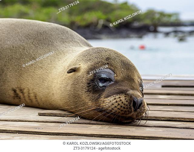 Sea Lion (Zalophus wollebaeki), Concha de Perla near Puerto Villamil, Isabela or Albemarle Island, Galapagos, Ecuador