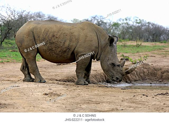 White Rhinoceros, Square-Lipped Rhinoceros, (Ceratotherium simum), adult at waterhole drinking, Hluhluwe Umfolozi Nationalpark, Hluhluwe iMfolozi Nationalpark